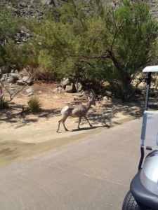 Bighorn sheep at SilverRock